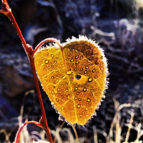 Gold aspen leaf with frost