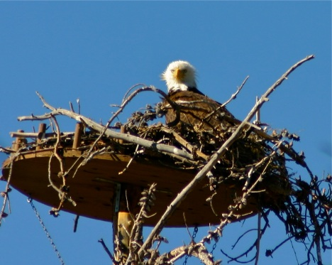 June was nesting season for a pair of bald eagles taking up residence on an island in Dillon Reservoir.
