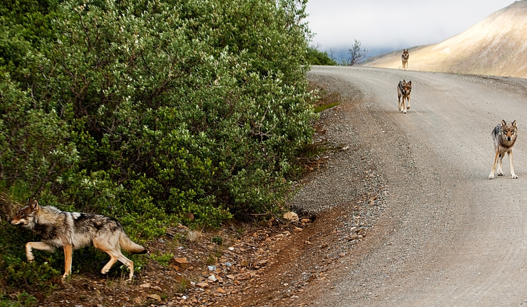 Wolves on the Denali Park Road. Photo courtesy NPS Photo / Nathan Kostegian.