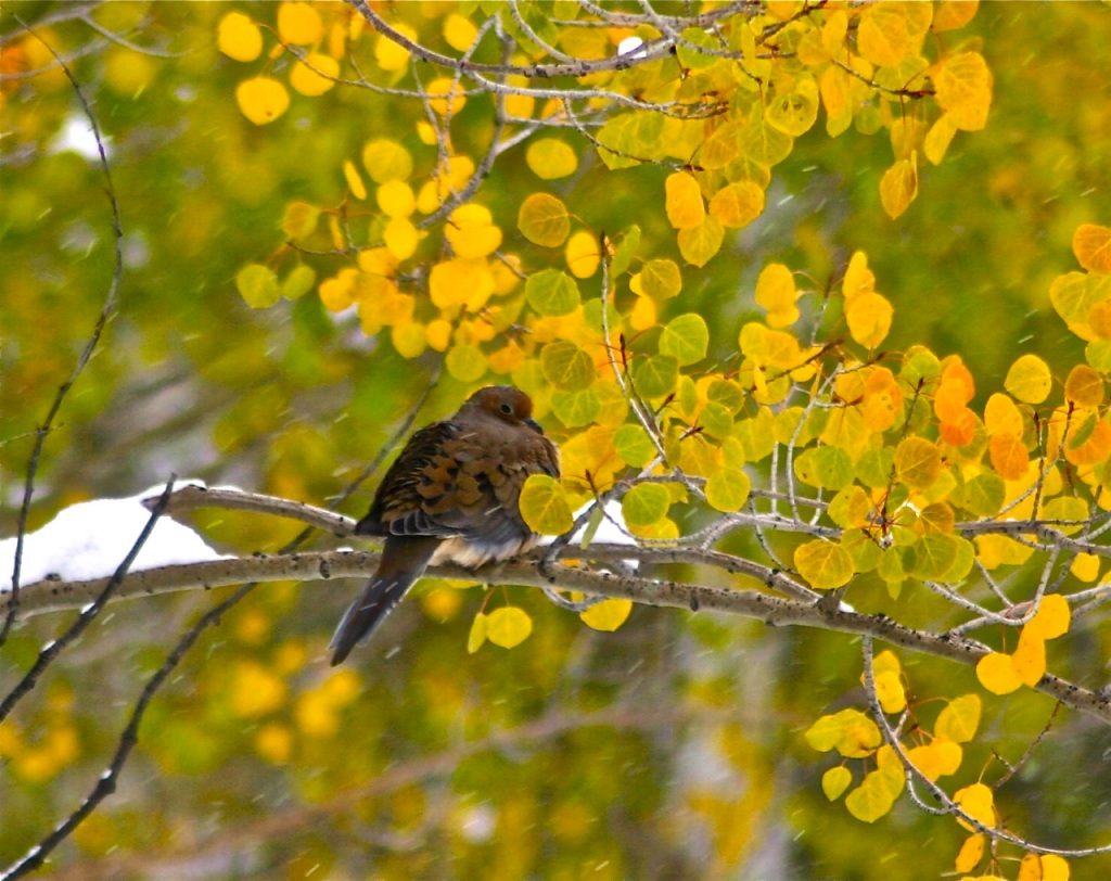 A red-shafted flicker takes shelter during an early October snowfall in Summit County. Colorado.