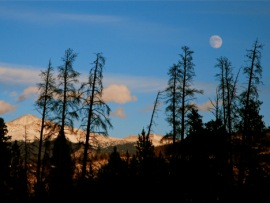 Lodgepole pines killed by beetles stand silhoutted against the evening sky in Summit County, Colorado.