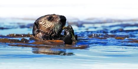 Alaskan_Sea_Otter