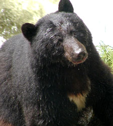 American black bears are notorious scavengers, and their habit of seeking out human food nearly always ends badly. Photo courtesy U.S. Forest Service.