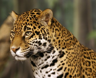 Jaguar. Image via the Wikimedia Commons.