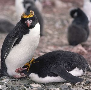 Macaroni penguin populations are declining on South Georgia Island. Photo via Wikimedia and the Creative Commons.