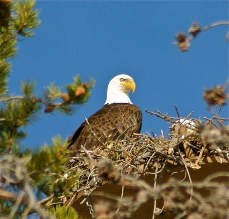 Resident bald eagle in Summit County, Colorado guarding the nest.