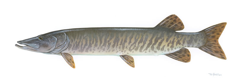 Musky Fish Drawing More tiger muskies, more