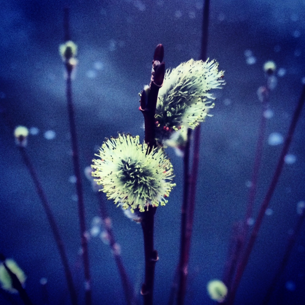 Another look at a willow blossom, same spot, different day, different light and an Instagram filter.