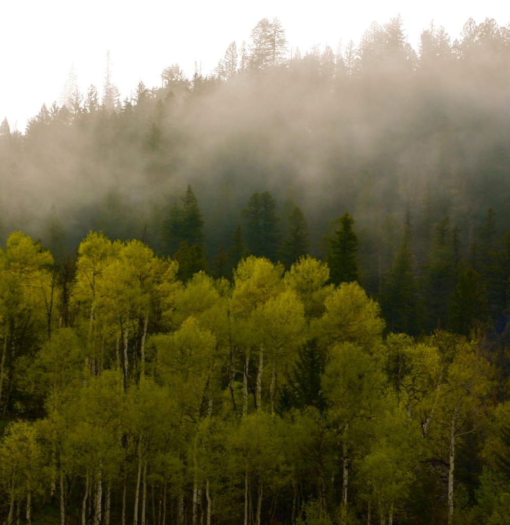 Aspens in the morning mist.