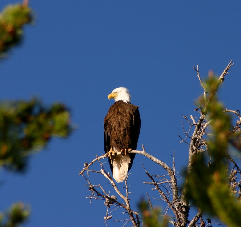 Regal eagle in Summit County. In the nearby nests, the chicks are stretching their wings.