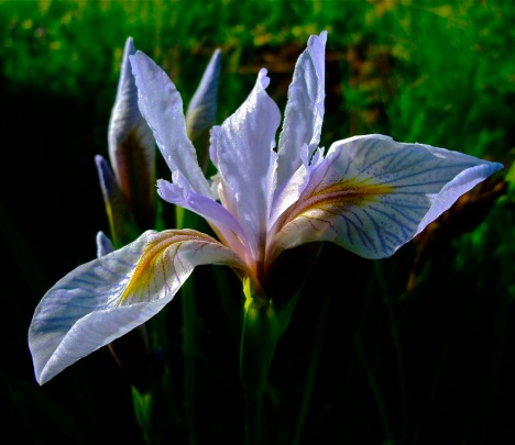 Wild iris in full bloom.
