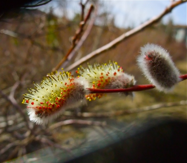 Even before all the snow was gone, the willows started bursting forth.