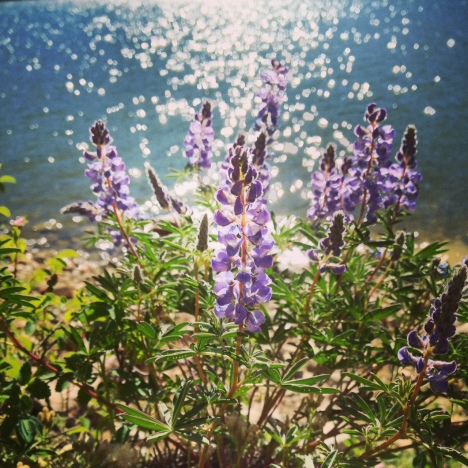 Lupines against the backdrop of shimmering DIllon Reservoir in Frisco, Colorado.