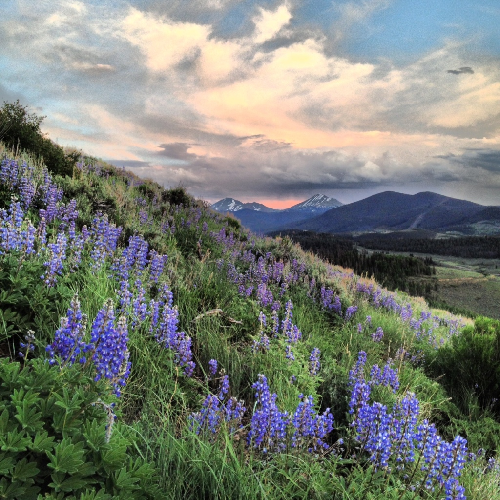 Lupines on Tenderfoot Mountain, Dillon, Colorado.