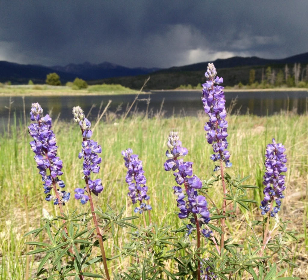 An unedited, slightly cropped iPhone shot highlights lupines against a building thunderstorm.