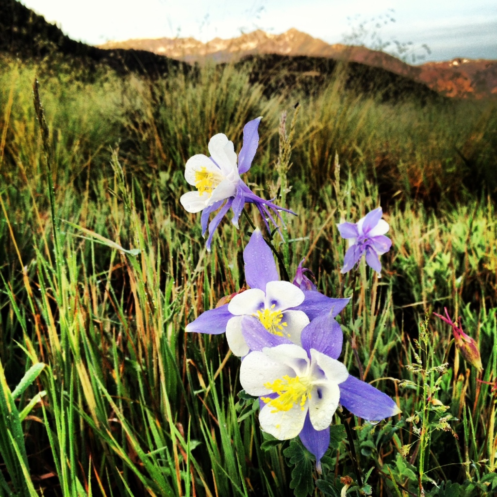 Early morning Columbine along Swan Mountain Road.