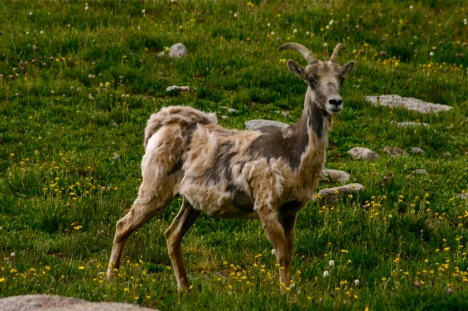 Colorado's bighorn sheep look a bit ragged this time of year!