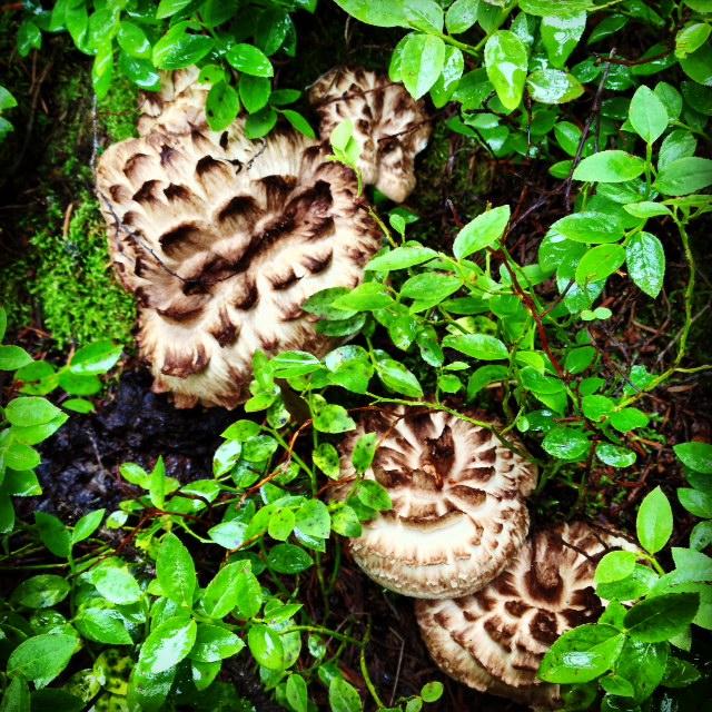 Hawk's wing Colorado mushrooms