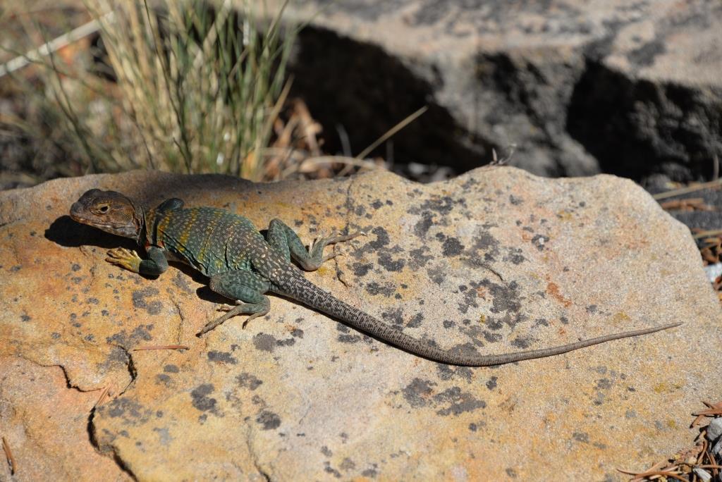 A collared lizard at Mesa Verde.