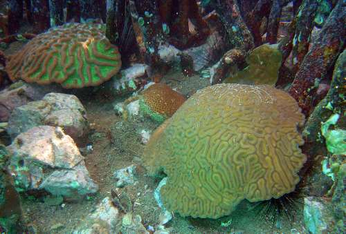 Boulder brain corals, for example, were found in abundance under the mangroves and were healthy, while many of those in unshaded areas a short distance away were bleaching. Photo Credit: Caroline Rogers, USGS