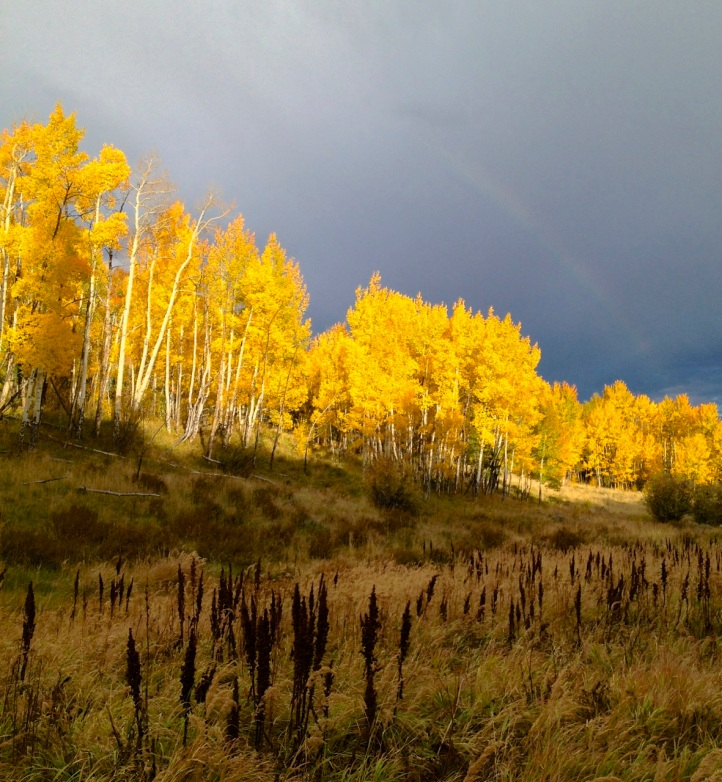Intense yellow aspens at the peak of the fall color season.
