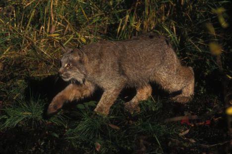 lynx, Lynx lynx, by Erwin & Peggy Bauer, no date, 11437, 101.7.01