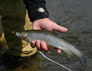 An Arctic grayling in the Gulkana River, Paxson, Alaska. Photo courtesy USGS.