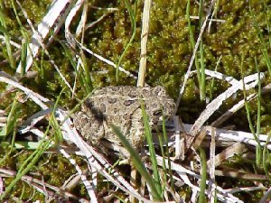 A Wyoming toad. Photo via USFWS.