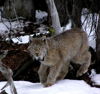 A radio-collared lynx in Colorado. Photo courtesy CPW.