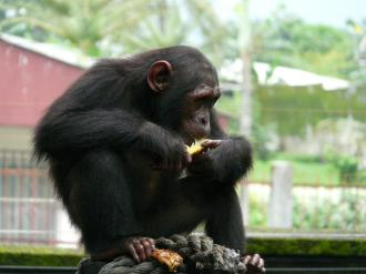 """Ngambe "" is a chimpanzee rescued from illegal animal trafficking who now lives at the Limbe Wildlife Center in Cameroon. view more Credit: Paul Sesink Clee"