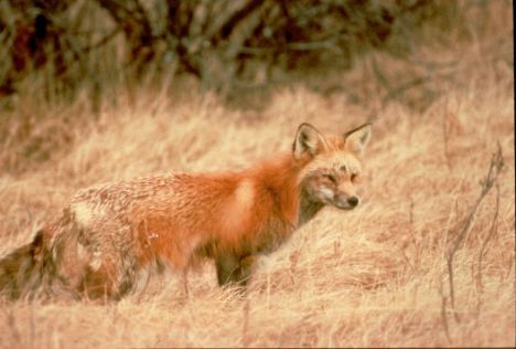 A Sierra Nevada red fox. Photo courtesy USFWS.