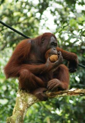 """Orang Utan, Semenggok Forest Reserve, Sarawak, Borneo, Malaysia"" by Eleifert - Own work. Licensed under CC BY-SA 3.0 via Wikimedia Commons - http://commons.wikimedia.org/wiki/File:Orang_Utan,_Semenggok_Forest_Reserve,_Sarawak,_Borneo,_Malaysia.JPG#mediaviewer/File:Orang_Utan,_Semenggok_Forest_Reserve,_Sarawak,_Borneo,_Malaysia.JPG"