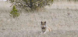 A Mexican gray wolf in the wilds of the Blue Range wolf recovery area. Photo courtesy of the Mexican Wolf Interagency Field Team.