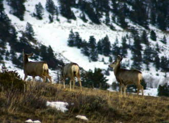 Mule deer enjoying an abundance of January forage as a sustained warm spell has melted low-elevation snowpack in Colorado.