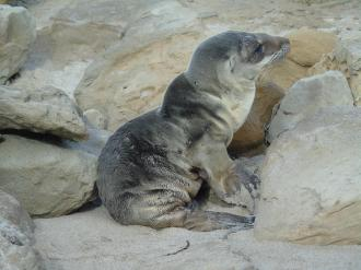Many sea lion pups in California's Channel Islands are underweight and are washing up on beaches starving are dead. Biologists suspect unusually warm ocean conditions are reducing marine productivity, causing female sea lions to struggle to find sufficient food to nurse the pups. For further details http://www.afsc.noaa.gov/News/CA_sea_lions.htm