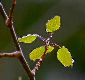 Tender spring green aspen leaves afrer a spring rain shower.