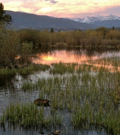 A beaver, one of Colorado's primary ecosystem builers, in the wetlands of Meadow Creek, in Frisco.