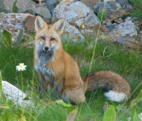 A fox along Baldy Road in Breckenridge, Colorado.