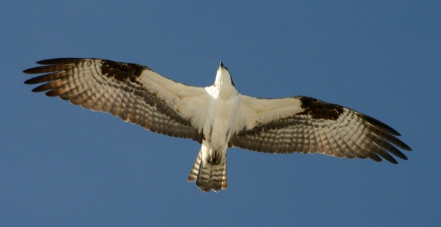 An osprey soaring near its next in Summit County, Colorado.