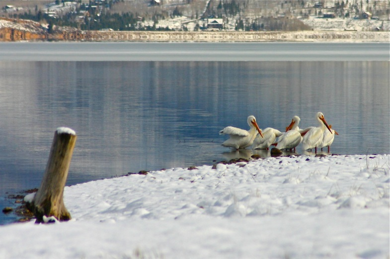 White pelicans at the shore of Dillon Reservoir.