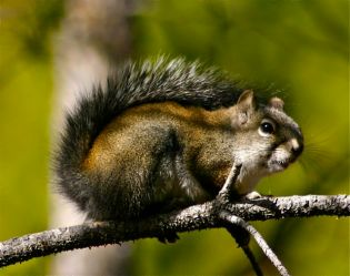 Not your average city park squirrel, this little mammal looks downright ferocious -- for a squirrel.