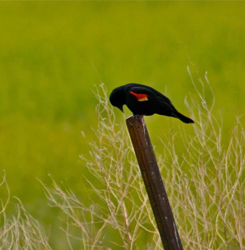 Look at the brilliant epaulets on this red-winged blackbird!