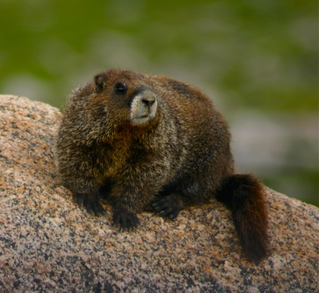 Hey there, marmot!
