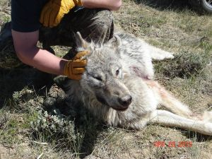 Federal scientists are trying to determine whether this animal, shot April 29 near Kremmling, is a grray wolf. Photo via the Colorado Mule Deer Association Facebook page.