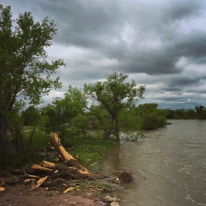 South Platte cottonwoods broken and stripped by spring flooding.