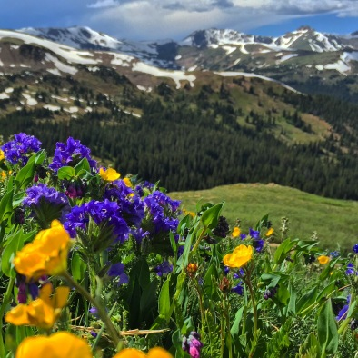 Summer wildflowers at Loveland Pass.