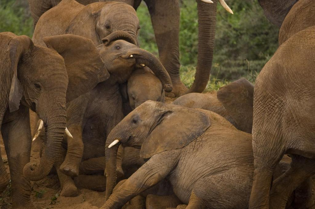 IMAGE: A group of elephants socializing. view more Credit: Courtesy of Michael Nichols