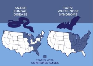 Ophidiomyces ophiodiicola, a fungus that is afflicting snakes across the Midwest and Eastern US, shares many traits with Pseudogymnoascus destructans the fungus that causes white-nose syndrome in bats, researchers report. Credit Julie McMahon