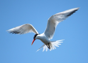 """Elegant Tern Bolsa Chica"" by Regular Daddy - Own work. Licensed under CC BY-SA 3.0 via Wikimedia Commons."