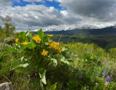 Arrowleaf balsamroot blooming in the sage foothills of the Williams Fork Range.